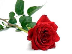 red_rose_rent